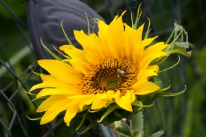 July Sunflower