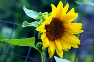 Morning Sunflower