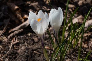 White Crocus In Bloom