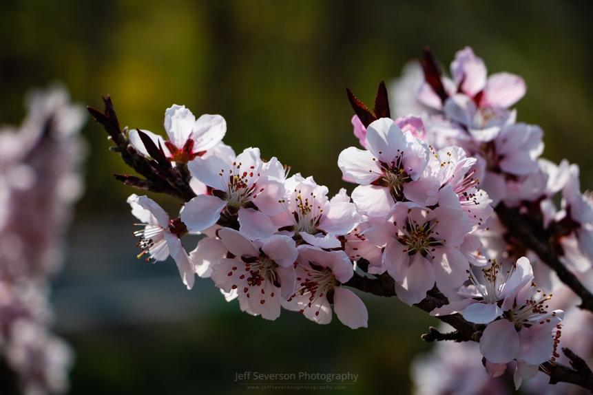 Blooming Peach Tree