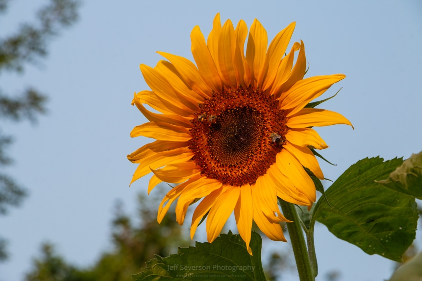 American Giant Sunflower in the Morning