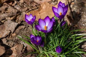 Crocus in Spring 2019 I