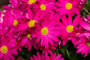 Aphoto of a bed of pink Painted Daisies at a Garden Show.