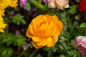 A photo of a yellow Ranunculus flower in bloom at a Garden Show.