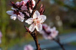 A photo of blossom from an ornamental peach tree covered in rain drops after an April rain storm.