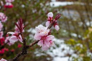 A photograph of a blossom from an ornamental peach tree after a minor Spring snow storm in April in New York.