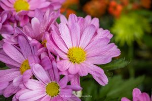 A photo of a pink Gerbera Daisy with textured petals at the annual Garden Show at Adam's Fairacre Farms in Kingston, NY.