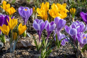 A photograph of a bed of crocus flowers in bloom on a March afternoon.