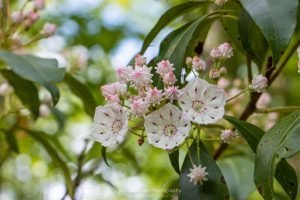 A photo of a cluster of closed and open Mountain Laurel blossoms at Minnewaska State Park Preserve.