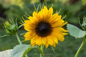 A photo of a sunflower in bloom.